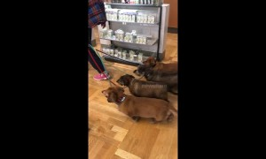 Synchronised sausage dogs: four pooches waddle in unison