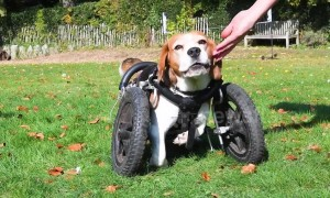 Three legged dog transforms life with canine wheelchair