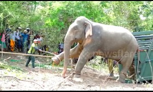 Angry elephant finally moved after three days hassling villagers