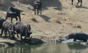 Fearless hippo calf warns thirsty buffalo to stay clear of 'his' water