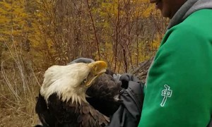 Rescuing a Wounded Eagle
