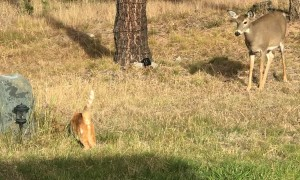 Unlikely Encounter Between Cat and Doe