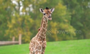 Rare moment captured on CCTV as Giraffe gives birth