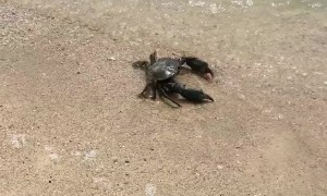 Returning a Lost Crab to the Ocean