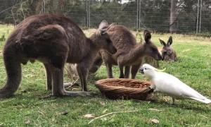Cockatoo Steals Kangaroos Food