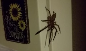 Rejected by a Huntsman Spider