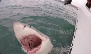 Cameraman has near miss with huge great white shark