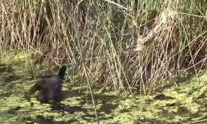 Three brave ducks see off a deadly Australian tiger snake