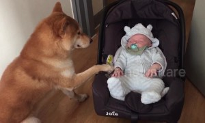This shiba dog takes babysitting very seriously