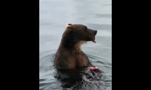 Rare close-up footage shows bear feasting on fish in Russia's Far East