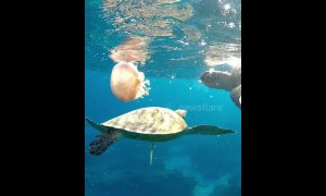 Turtles chow down on large jellyfish