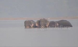 Five gritty elephants swim to escape watery grave in India