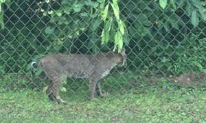 Bobcat Makes Visit to Florida Backyard