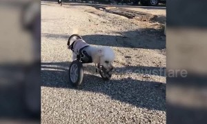 Poodle hops around like a kangaroo after losing its two front legs