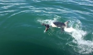 That was close! Seal narrowly escapes great white shark's jaws