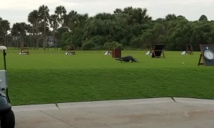 Alligator Walks With a Broken Leg