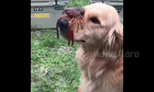 Golden Retriever balances crawfish on his nose