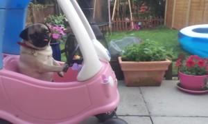 Very Cool Pugs