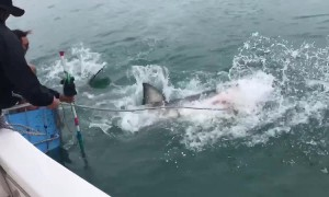 Bait handler enters into vicious tug-of-war with great white shark
