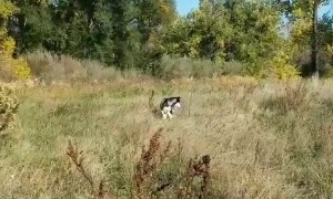 Bunny Hopping Husky