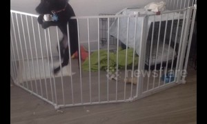 Dog performs expert jailbreak from playpen