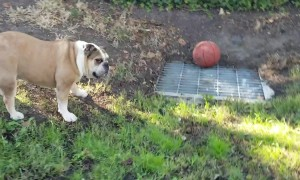 Angry bulldog barks non-stop after ball rolls onto drainage cover and gets stuck