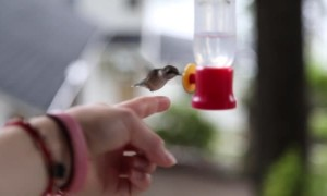 Incredible footage shows a wild hummingbird being hand-fed