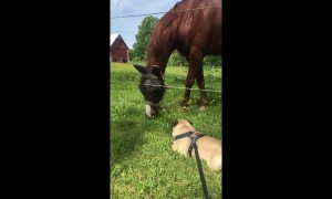Tenacious pug attempts to battle a horse
