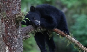Sleepy Cub Rests on a Branch