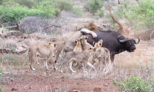 Tourists witness moment pride of lions battle to take down buffalo