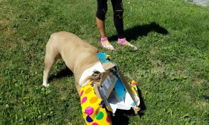 Excited bulldog unwraps her own birthday presents