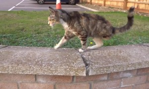 Adorable three-legged cat doesn't let disability get in the way of life