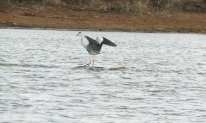 Go with the flow: Bird surfs across dam on hippo's back