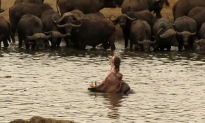Dominant bull hippo shows teeth to herd of buffalo