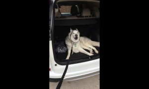 Husky Refuses To Leave Car, Throws Epic Tantrum