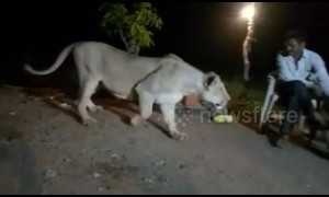 Indian man in jail for teasing lioness with chicken