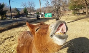 Mini mule puts on the goofiest toothy grin on command