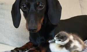 Furry and Feathered Friend Snuggle