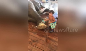 Little boy scrubs circus elephant's feet
