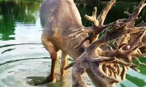 Monster Buck Enjoying Drink of Water