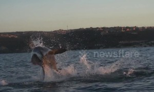 Close call! Seal escapes jaws of leaping great white shark