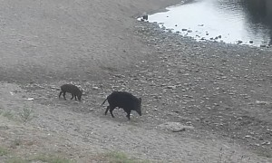 Boars on the Beach