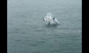 Great white shark breaches with seal in its jaws