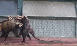 Strong Mother Opossum Carries Babies on Back