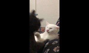 Cats engage in adorable silent slapping match