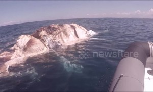 Diver films tiger sharks and great whites feasting on whale carcass off the coast of Australia