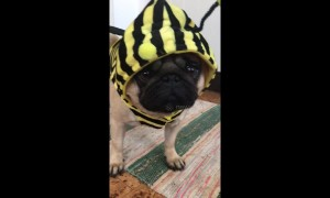 Pug has bee-utiful new costume