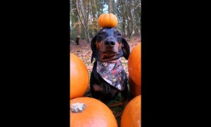 Goofy dog triumphantly balances pumpkin on head