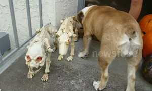 Bulldog tries to befriend skeleton dogs in spirit of Halloween