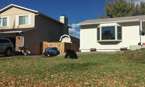 Black Bear Strolls Through Neighbourhood